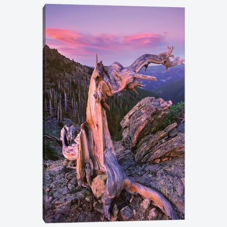Rocky Mountains Bristlecone Pine Tree Overlooking Forest, Rocky Mountain National Park, Colorado Canvas Print #TFI903} by Tim Fitzharris Canvas Art Print