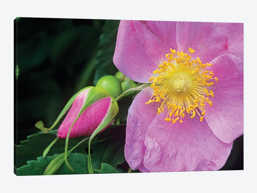 Rose Flower, British Columbia, Canada by Tim Fitzharris 1-piece Canvas Art