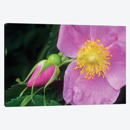 Rose Flower, British Columbia, Canada Canvas Print #TFI908} by Tim Fitzharris Art Print