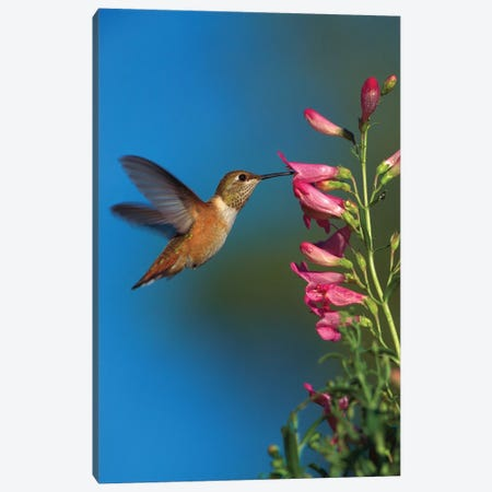 Rufous Hummingbird Feeding On Flowers, New Mexico Canvas Print #TFI918} by Tim Fitzharris Canvas Wall Art