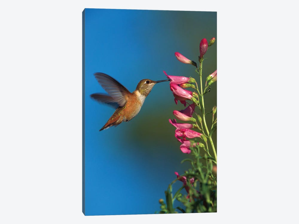 Rufous Hummingbird Feeding On Flowers, New Mexico by Tim Fitzharris 1-piece Canvas Art Print
