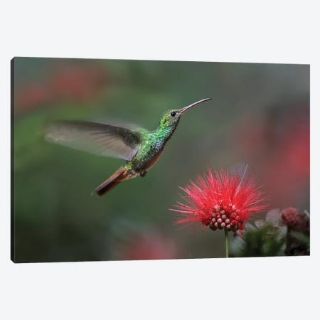 Rufous-Tailed Hummingbird At Fairy Duster Flower, Costa Rica Canvas Print #TFI919} by Tim Fitzharris Canvas Art