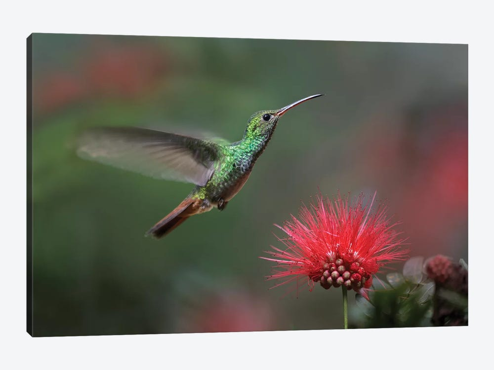 Rufous-Tailed Hummingbird At Fairy Duster Flower, Costa Rica by Tim Fitzharris 1-piece Canvas Artwork
