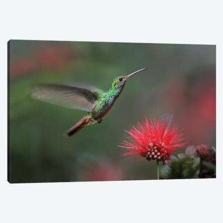 Rufous-Tailed Hummingbird At Fairy Duster Flower, Costa Rica Canvas Print #TFI919} by Tim Fitzharris Canvas Art