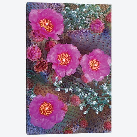 Beavertail Cactus Flowering, North America 3-Piece Canvas #TFI91} by Tim Fitzharris Canvas Art Print