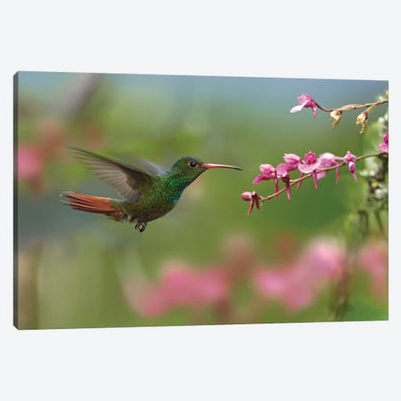 Rufous-Tailed Hummingbird Hovering Near Flower, Ecuador Canvas Print #TFI920} by Tim Fitzharris Canvas Print