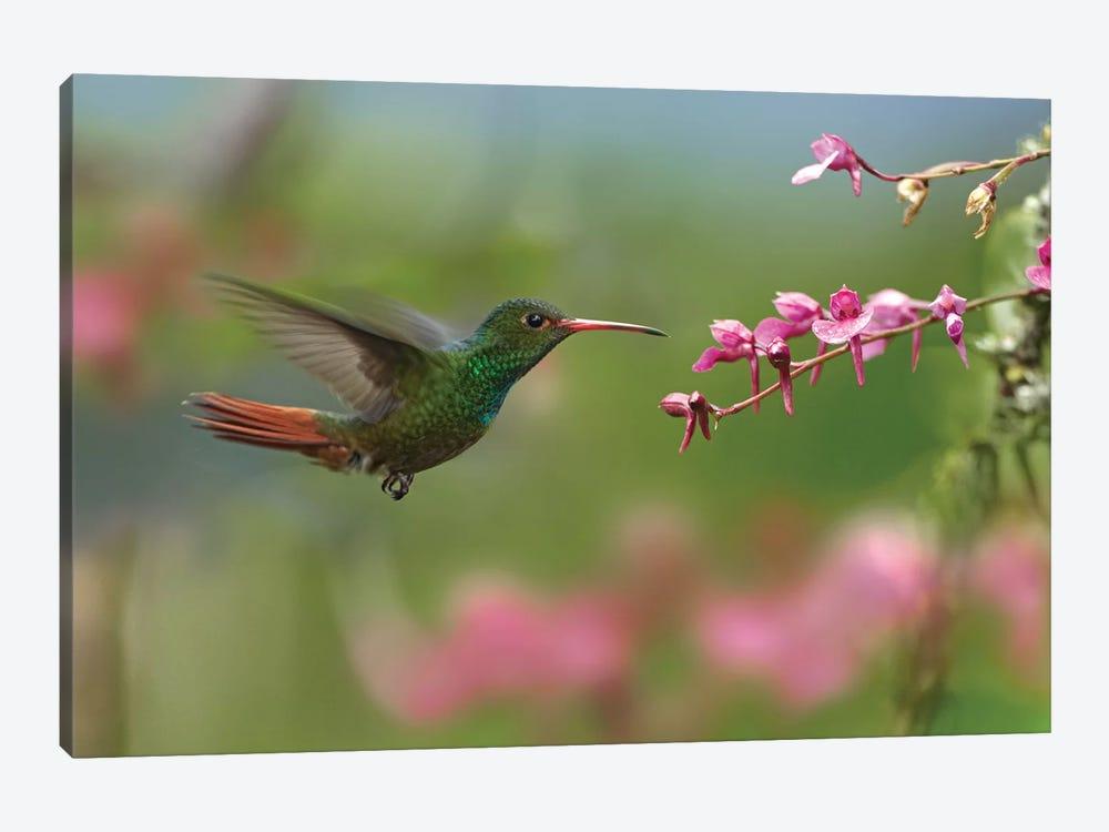 Rufous-Tailed Hummingbird Hovering Near Flower, Ecuador by Tim Fitzharris 1-piece Canvas Wall Art