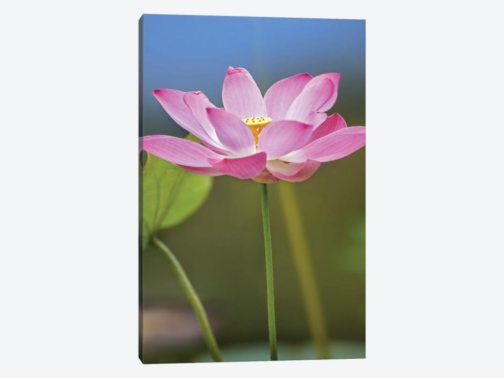 Sacred Lotus Flower, Native To Asia by Tim Fitzharris 1-piece Canvas Artwork