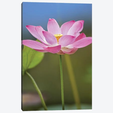 Sacred Lotus Flower, Native To Asia 3-Piece Canvas #TFI922} by Tim Fitzharris Canvas Print