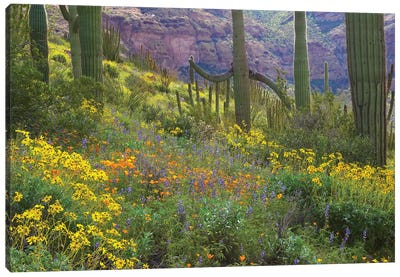 Saguaro Amid Flowering Lupine, California Brittlebush, Organ Pipe Cactus National Monument, Arizona And Desert Golden Poppies I Canvas Art Print
