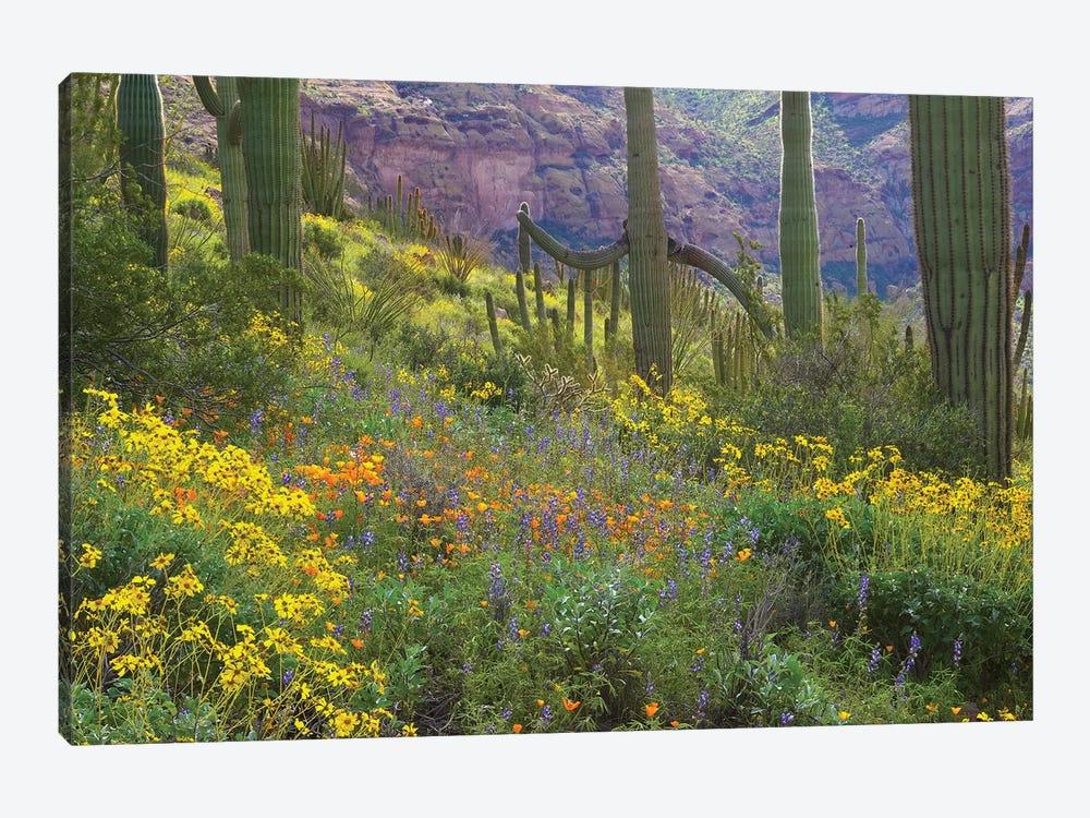 Saguaro Amid Flowering Lupine, California Brittlebush, Organ Pipe Cactus National Monument, Arizona And Desert Golden Poppies I by Tim Fitzharris 1-piece Canvas Art