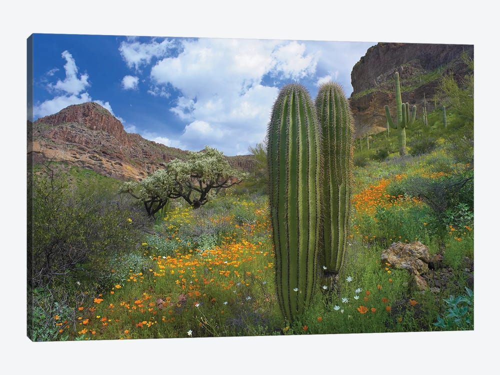 Saguaro Amid Flowering Lupine, California Brittlebush, Organ Pipe Cactus National Monument, Arizona And Desert Golden Poppies II by Tim Fitzharris 1-piece Canvas Print