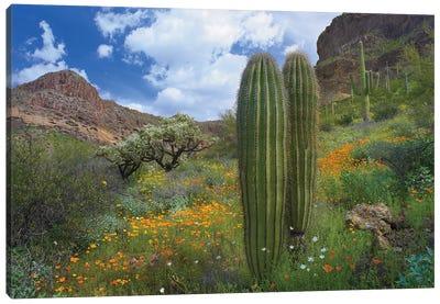 Saguaro Amid Flowering Lupine, California Brittlebush, Organ Pipe Cactus National Monument, Arizona And Desert Golden Poppies II Canvas Art Print