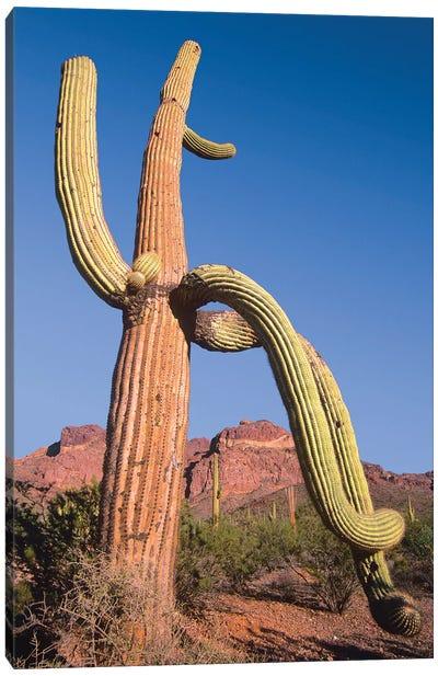Saguaro And Ajo Mountains, Organ Pipe Cactus National Monument, Arizona Canvas Art Print