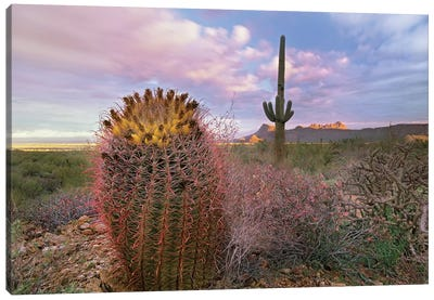 Saguaro And Giant Barrel Cactus With Panther And Safford Peaks In Distance, Saguaro National Park, Arizona Canvas Art Print