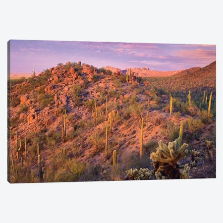 Saguaro And Teddybear Cholla Cacti Covering Panther And Safford Peaks, Saguaro National Park, Arizona Canvas Print #TFI928} by Tim Fitzharris Canvas Art Print