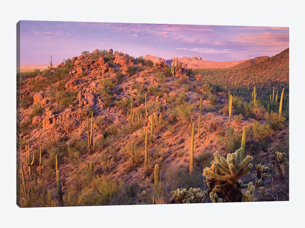 Saguaro And Teddybear Cholla Cacti Covering Panther And Safford Peaks, Saguaro National Park, Arizona 1-piece Canvas Art