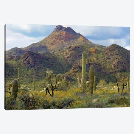 Saguaro And Teddybear Cholla, Arizona Amid Flowering Lupine And California Brittlebush I Canvas Print #TFI929} by Tim Fitzharris Canvas Art Print