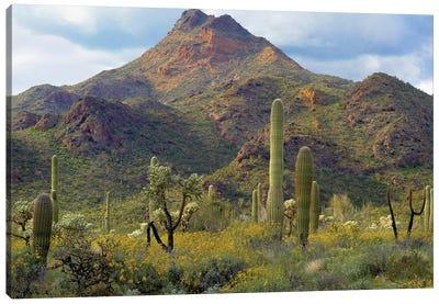 Saguaro And Teddybear Cholla, Arizona Amid Flowering Lupine And California Brittlebush I Canvas Art Print