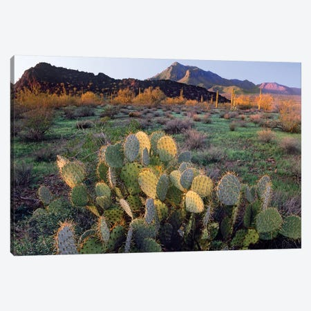Beavertail Cactus With Picacho Mountain In The Background, Pichaco Peak State Park, Arizona Canvas Print #TFI92} by Tim Fitzharris Canvas Art Print