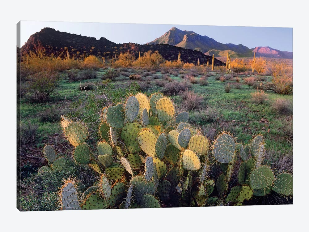 Beavertail Cactus With Picacho Mountain In The Background, Pichaco Peak State Park, Arizona by Tim Fitzharris 1-piece Canvas Art Print