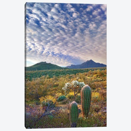 Saguaro And Teddybear Cholla, Arizona Amid Flowering Lupine And California Brittlebush II Canvas Print #TFI930} by Tim Fitzharris Canvas Art
