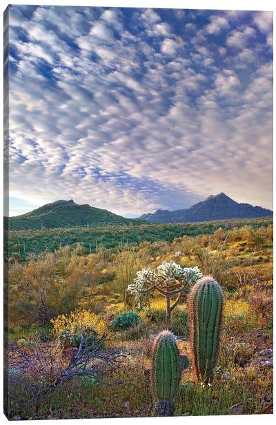 Saguaro And Teddybear Cholla, Arizona Amid Flowering Lupine And California Brittlebush II Canvas Art Print