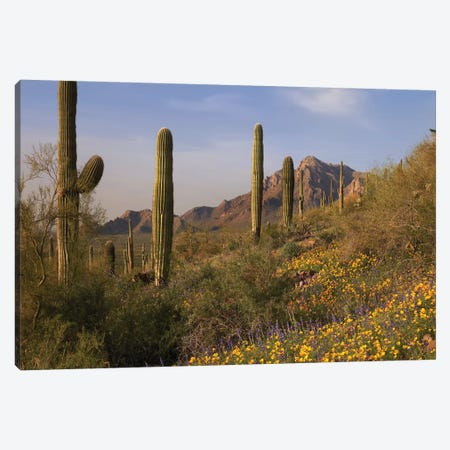 Saguaro Cacti And California Poppy Field At Picacho Peak State Park, Arizona Canvas Print #TFI931} by Tim Fitzharris Canvas Art