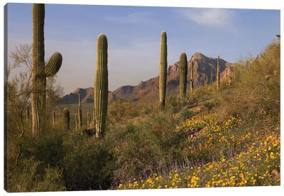 Saguaro Cacti And California Poppy Field At Picacho Peak State Park, Arizona Canvas Art Print