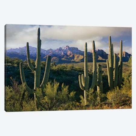 Saguaro Cacti And Santa Catalina Mountains, Arizona Canvas Print #TFI932} by Tim Fitzharris Canvas Art
