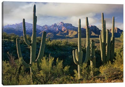 Saguaro Cacti And Santa Catalina Mountains, Arizona Canvas Art Print