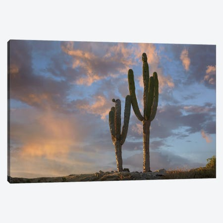 Saguaro Cacti, Cabo San Lucas, Mexico 3-Piece Canvas #TFI935} by Tim Fitzharris Canvas Art Print