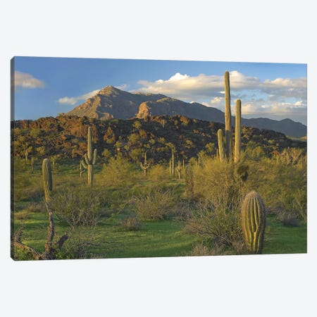 Saguaro Cacti, Picacho Mountains, Picacho Peak State Park, Arizona Canvas Print #TFI936} by Tim Fitzharris Canvas Art Print