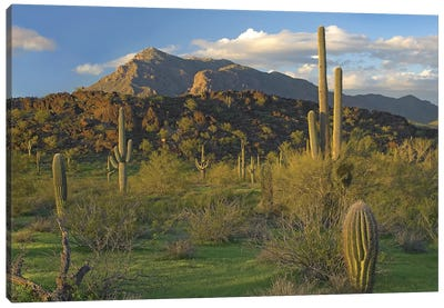 Saguaro Cacti, Picacho Mountains, Picacho Peak State Park, Arizona Canvas Art Print