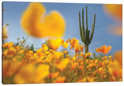 Saguaro Cactus And California Poppy Field At Gonzales Pass, Tonto National Forest, Arizona Canvas Art Print