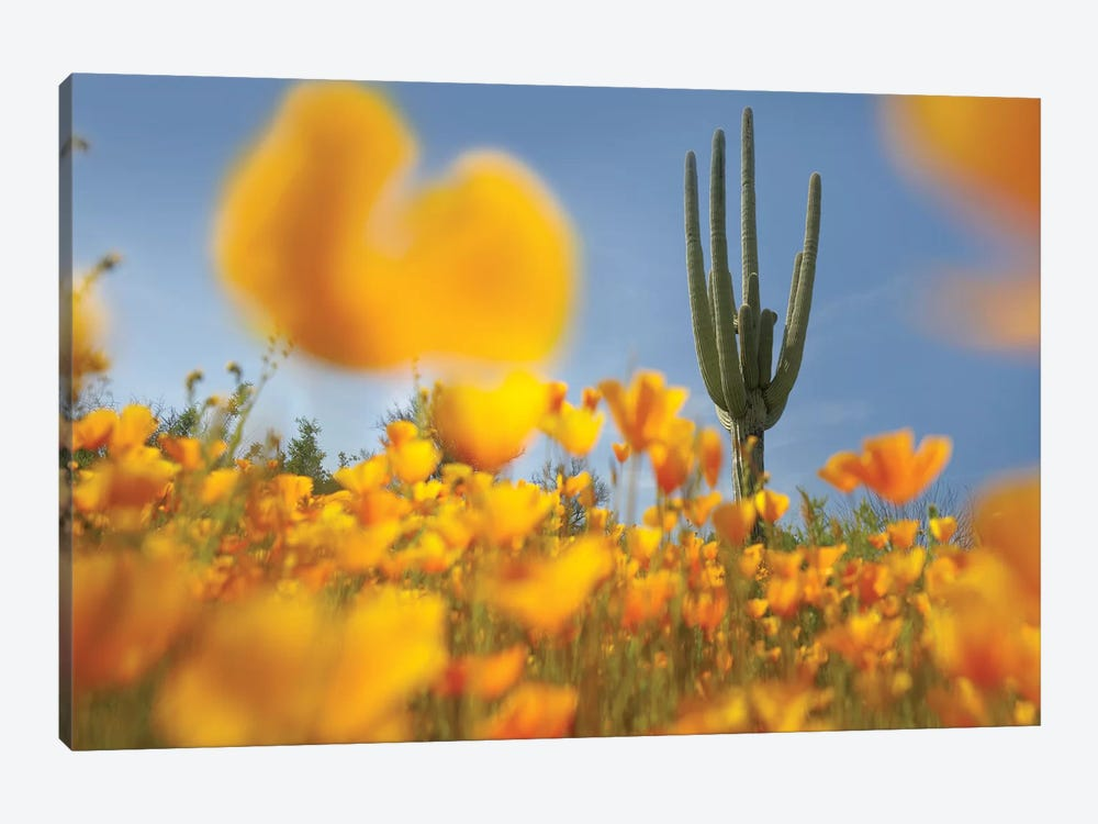 Saguaro Cactus And California Poppy Field At Gonzales Pass, Tonto National Forest, Arizona by Tim Fitzharris 1-piece Canvas Art
