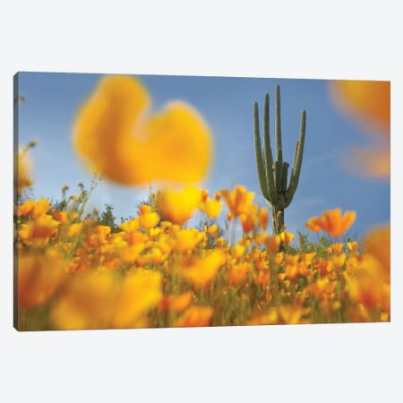 Saguaro Cactus And California Poppy Field At Gonzales Pass, Tonto National Forest, Arizona Canvas Print #TFI937} by Tim Fitzharris Canvas Art Print