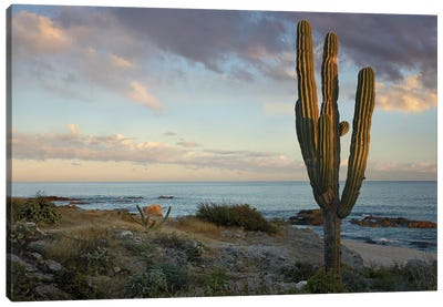 Saguaro Cactus At Beach, Cabo San Lucas, Mexico Canvas Art Print