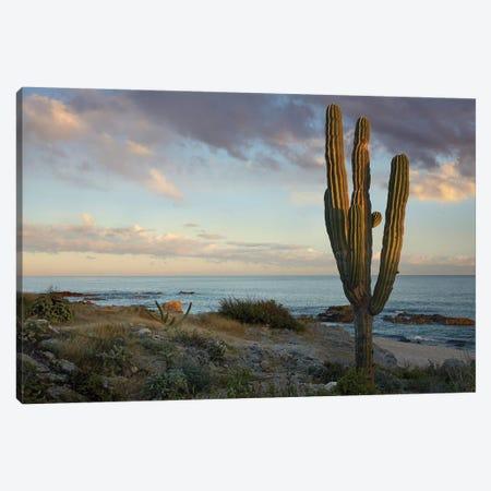 Saguaro Cactus At Beach, Cabo San Lucas, Mexico 3-Piece Canvas #TFI938} by Tim Fitzharris Canvas Artwork