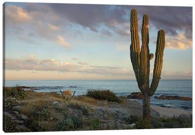 Saguaro Cactus At Beach, Cabo San Lucas, Mexico Canvas Art Print