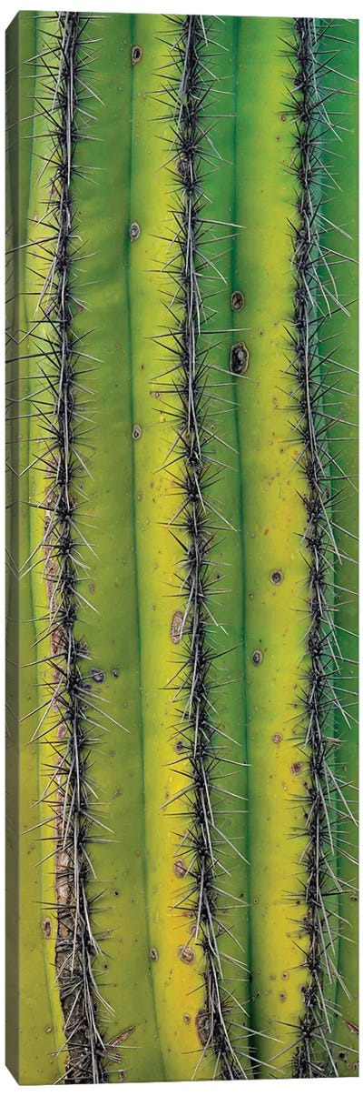 Saguaro Cactus Close Up Of Trunk And Spines, North America Canvas Art Print