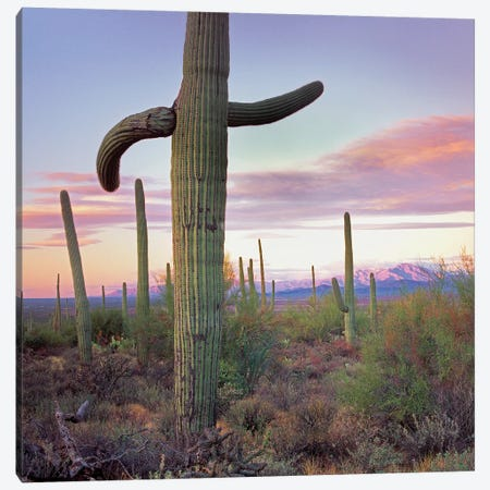 Saguaro Cactus Field With Sierrita Mountains In The Background, Saguaro National Park, Arizona Canvas Print #TFI940} by Tim Fitzharris Canvas Print