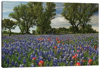 Sand Bluebonnet And Indian Paintbrush Flowers In Bloom, Hill Country, Texas Canvas Art Print
