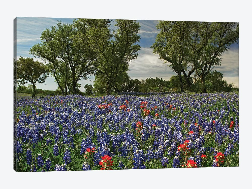 Sand Bluebonnet And Indian Paintbrush Flowers In Bloom, Hill Country, Texas by Tim Fitzharris 1-piece Canvas Wall Art