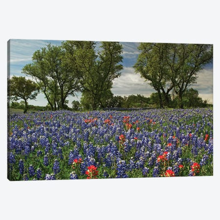Sand Bluebonnet And Indian Paintbrush Flowers In Bloom, Hill Country, Texas Canvas Print #TFI942} by Tim Fitzharris Canvas Art Print