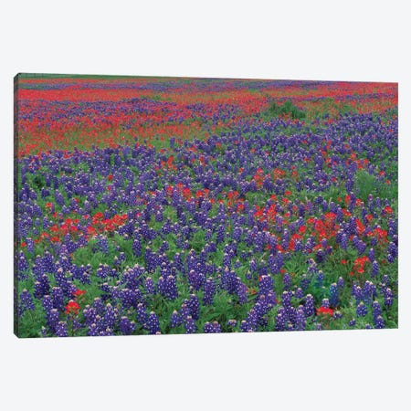 Sand Bluebonnet And Paintbrush Flowers, Hill Country, Texas I Canvas Print #TFI943} by Tim Fitzharris Art Print