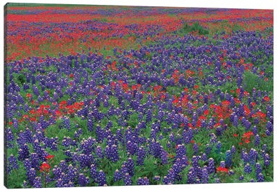 Sand Bluebonnet And Paintbrush Flowers, Hill Country, Texas I Canvas Art Print