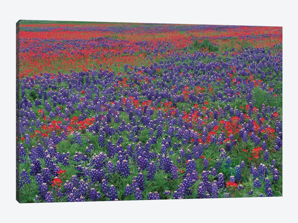 Sand Bluebonnet And Paintbrush Flowers, Hill Country, Texas I by Tim Fitzharris 1-piece Canvas Print