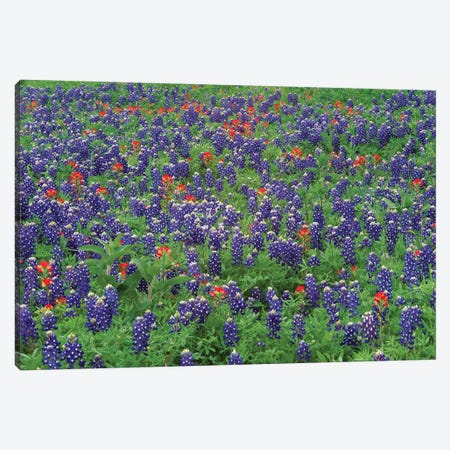 Sand Bluebonnet And Paintbrush Flowers, Hill Country, Texas II Canvas Print #TFI944} by Tim Fitzharris Canvas Wall Art