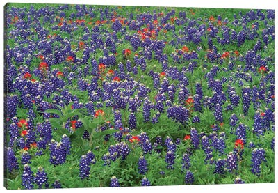 Sand Bluebonnet And Paintbrush Flowers, Hill Country, Texas II Canvas Art Print